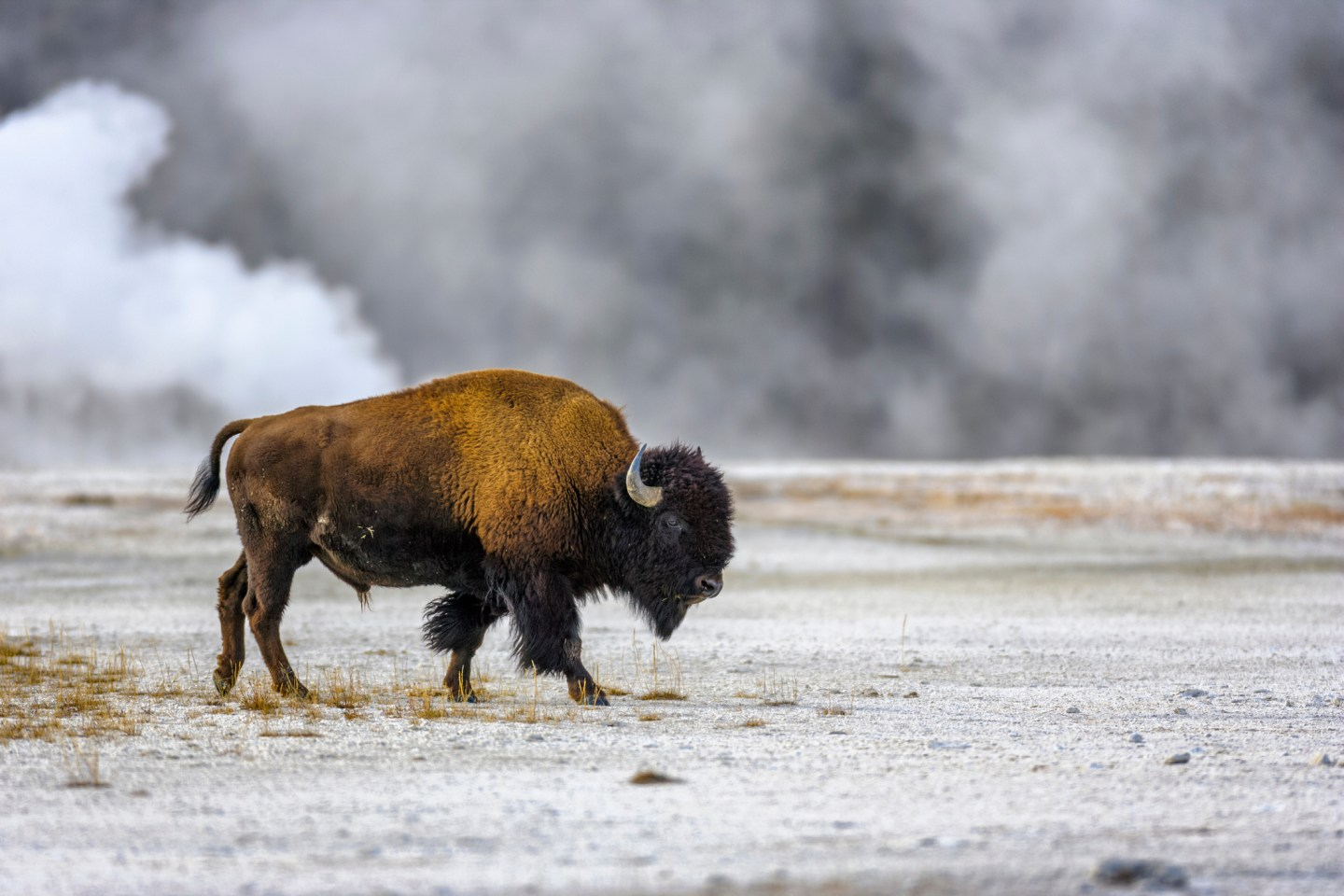 Yellowstone Bison Attack