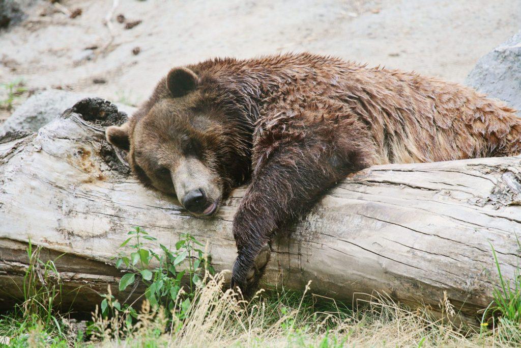 Bear sleeping on a log.