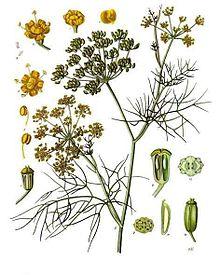 Ayurveda aspect of Herb- Fennel Seeds / Saunf / Variyali (1/2)
