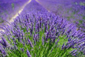 lavender-field-1595587_1920-300x200 ELIMINE os sintomas da Azia instantaneamente com esses Óleos