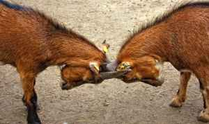 two goats head butting each other