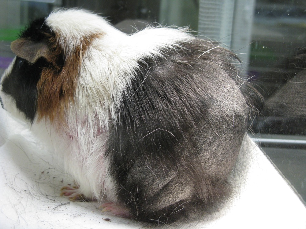 Guinea Pigs Feathers Fur And Scales