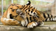 Tiger rest