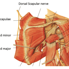 Nerves In Neck And Shoulder Diagram 2008 Ford Ranger Fuse Box Scapular Winging Winged Scapula Colorado Surgeon Dorsal Nerve