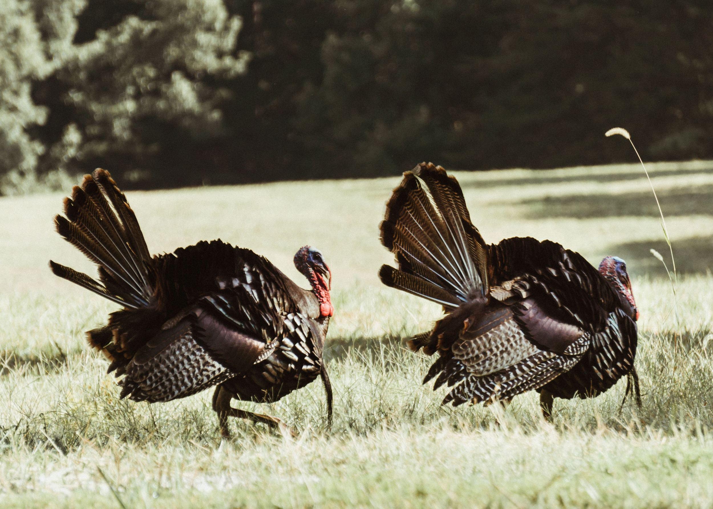 how to deter turkeys