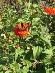 zinnia & butterfly photo