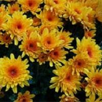 хризантема (цветы и листья)
