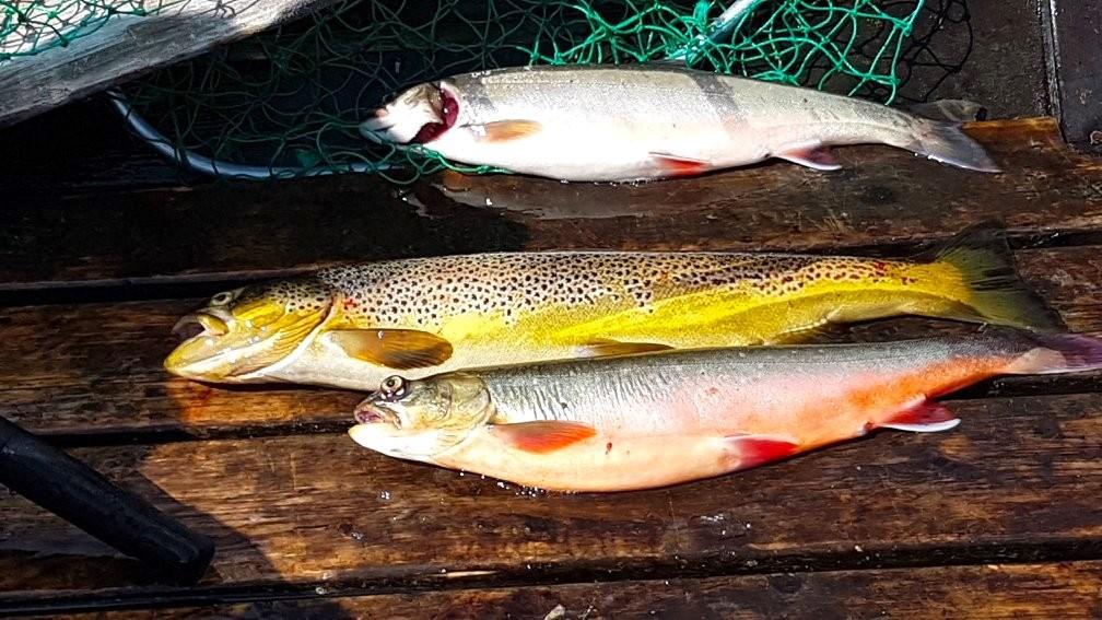 Fisk från Öjön. Foto Ljungdalsfisket