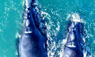 Southern Right Whales off South Africa