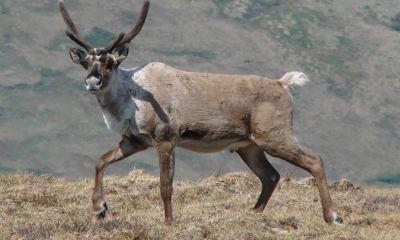 Barren-ground caribou