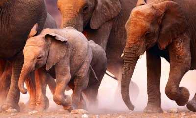 Stampeding Elephants
