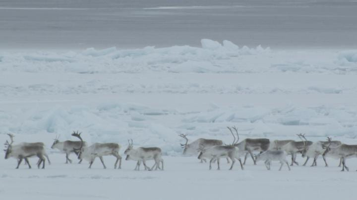 These are Dolphin-Union caribou migrating in northern Canada.