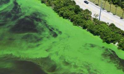 Commonly known as red tides, brown tides and green tides, blue-green algae or cyanobacteria, like Microcystis, are considered harmful algal blooms and can have severe impacts on human health, aquatic ecosystems and the economy. Credit: Bob Hogensen, Martin County, Florida