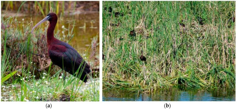 (a) Glossy ibis (Plegadis falcinellus) individual. (b) Front view of the Glossy ibis colony, densely covered by the macrophyte Typha, which makes it extremely difficult the ground census of the colony. Photos: Carlos Gutiérrez-Expósito (a), and Manuel Máñez (b).