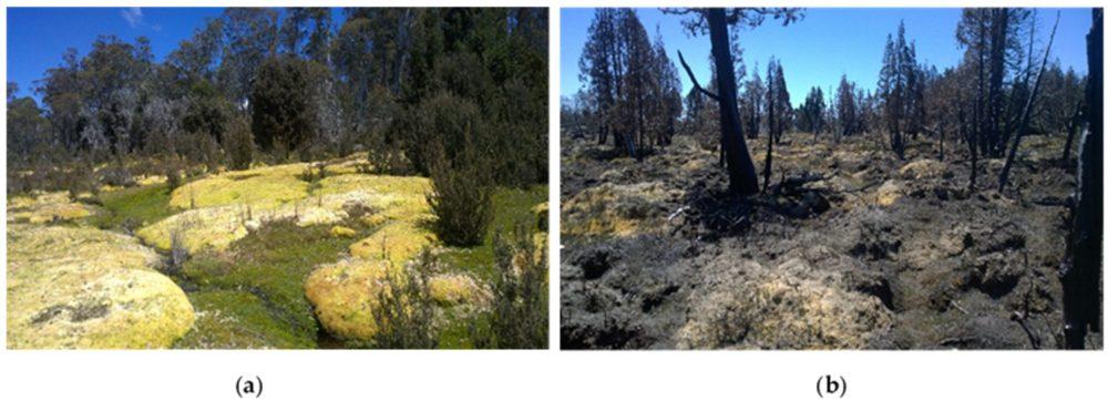 (a) Healthy sphagnum from Skullbone Plains, near Bronte Park, Central Tasmania; (b) Post-fire conditions of burnt Sphagnum and pencil pine trees near Lake Mackenzie, Northern Tasmania.