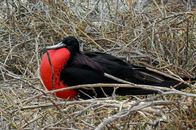 Island-Conservation-Galapagos-National-Park-frigatebird-seymour-norte-drone