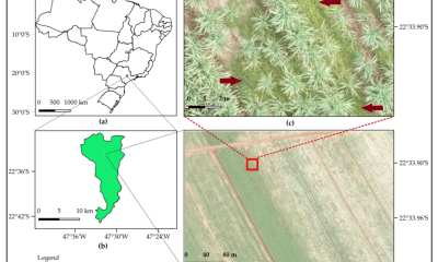 (a) Location of the study site in São Paulo State, Brazil; (b) Iracemápolis municipality and the location where the image was acquired; (c) zoom representing the infestation of Bermudagrass (highlighted with red arrows) in a sugarcane field (gramineous weed between and within crop rows); (d) red, green, and blue (RGB) unmanned aerial vehicle (UAV) image of true color composition and 2-cm spatial resolution.