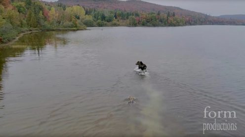 Dan Nystedt from Sault Ste. Marie in Ontario, Canada was flying his drone to capture some beautiful fall scenics in 4K when his eye caught a moose standing in a lake. As Nystedt moved his Phantom 4 Pro in for a closer look at this majestic animal, a wolf comes charging out of the bushes and a battle for life and death ensues.