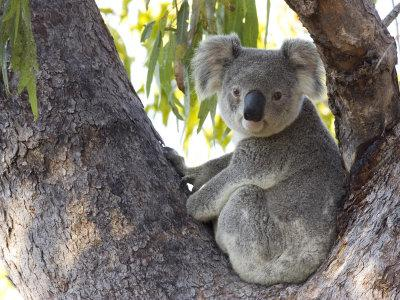 drones used for koala conservation thermal imaging