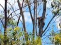 Jurek's first koala