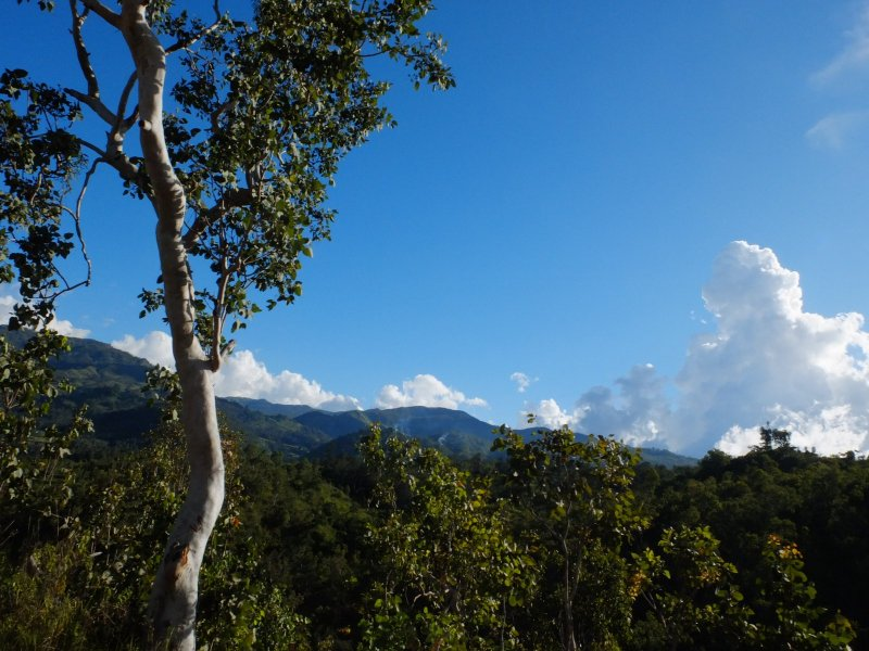 Just like home: Eucalyptus in Timor-Leste