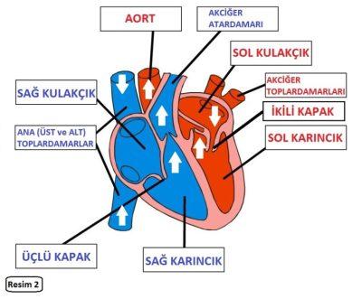Çocuk Kalbi Yapısı