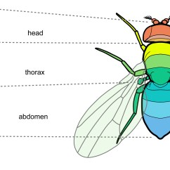 House Fly Anatomy Diagram 2001 Jeep Grand Cherokee Pcm Wiring Head Thorax Abdomen Radio