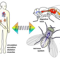 House Fly Anatomy Diagram Underfloor Heating Thermostat Wiring Organs Droso4schools