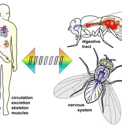for almost every organ in humans there is a match in flies and common genes [ 4744 x 2103 Pixel ]