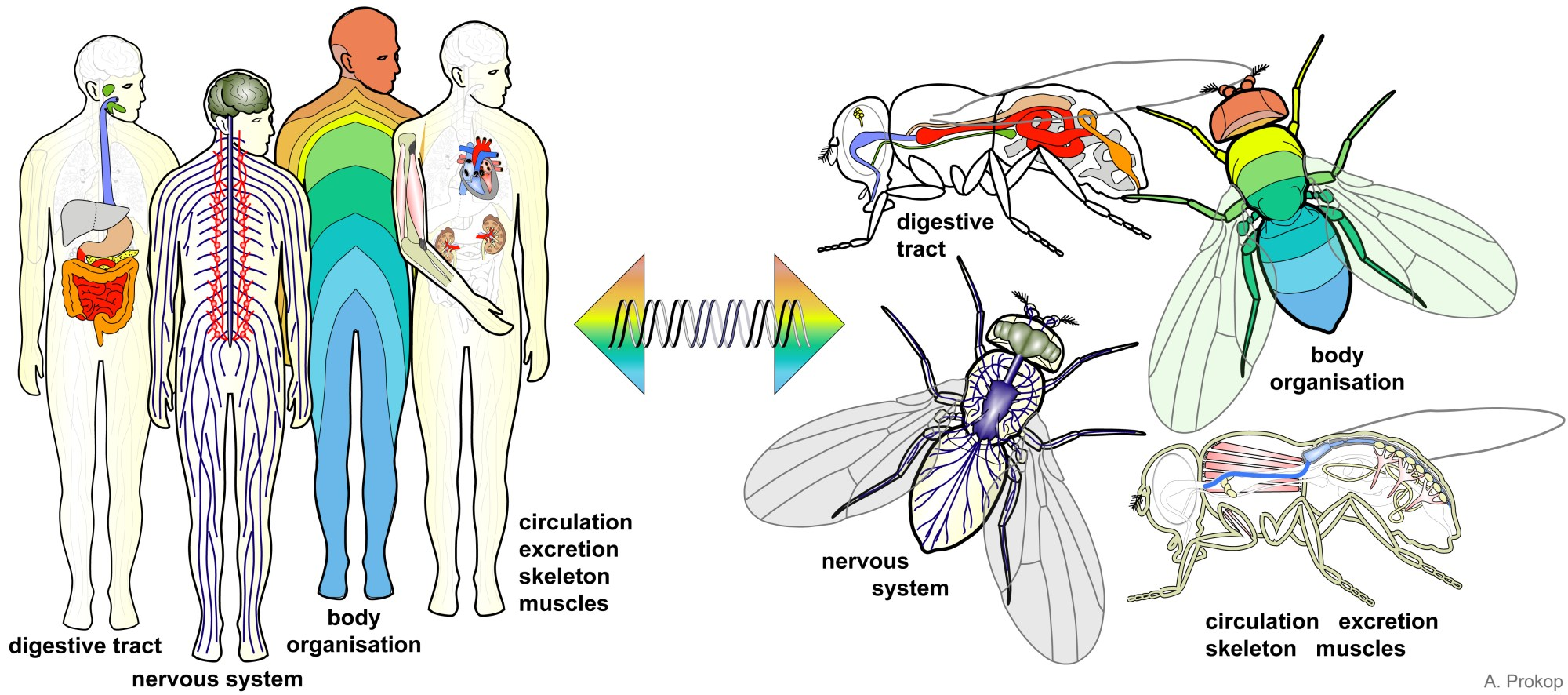 hight resolution of for almost every organ in humans there is a match in flies and common genes