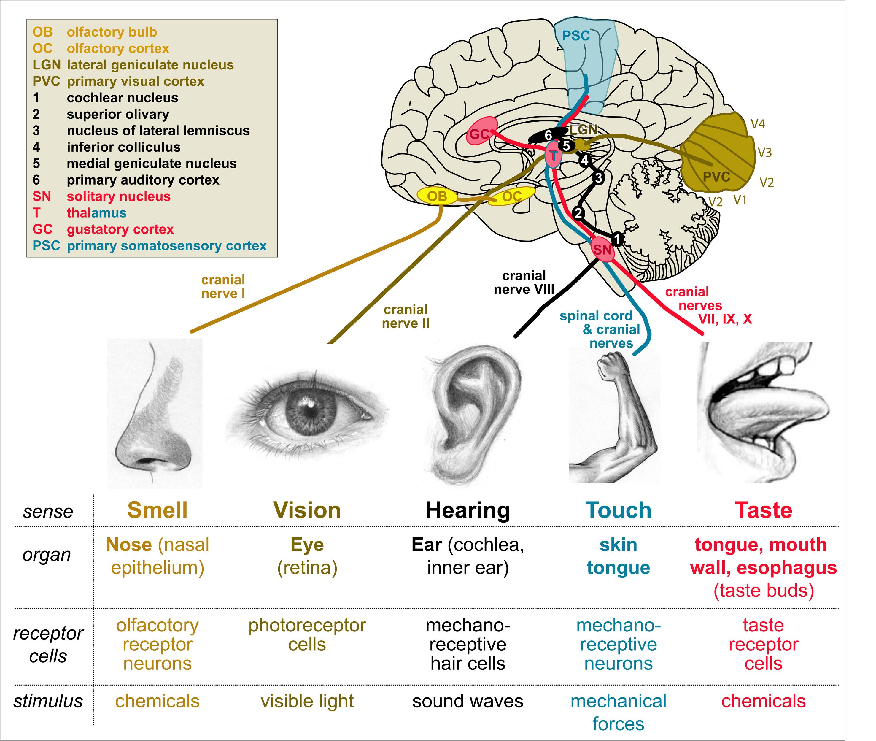 Nerve Impulse From Finger To Brain