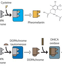 the metabolic pathway producing pheo and eumelanin a the common precursor is tyrosine and its derivative dopa from where the pathway branches  [ 3438 x 1102 Pixel ]