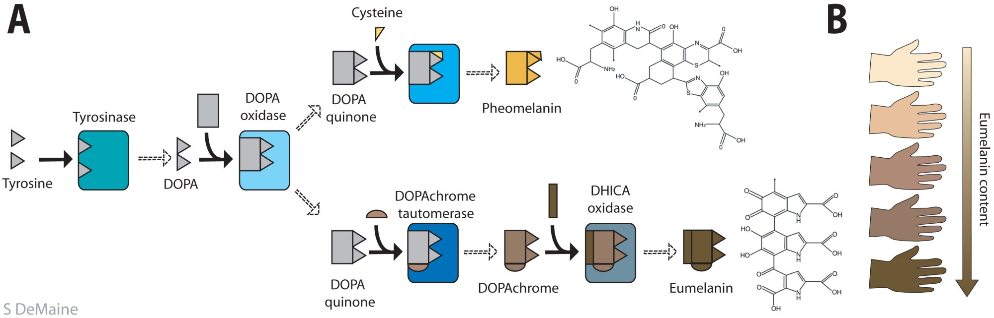 hight resolution of the metabolic pathway producing pheo and eumelanin a the common precursor is tyrosine and its derivative dopa from where the pathway branches