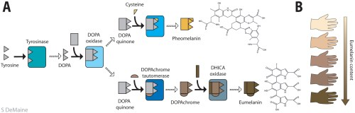 small resolution of the metabolic pathway producing pheo and eumelanin a the common precursor is tyrosine and its derivative dopa from where the pathway branches