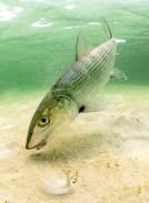 Bonefish, jason arnold