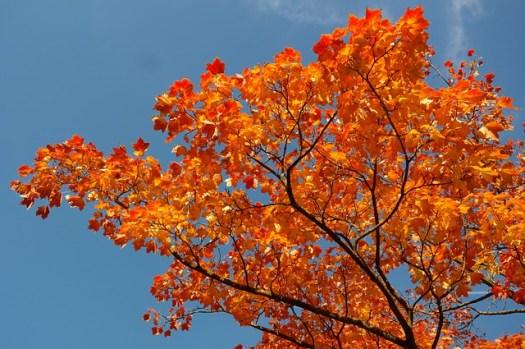 maple-leaves-228164_640