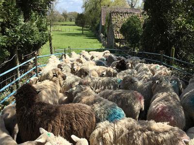 wwoofing sheep