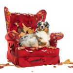 Australian Shepherd lying proudly on a detroyed armchair, isolated on white