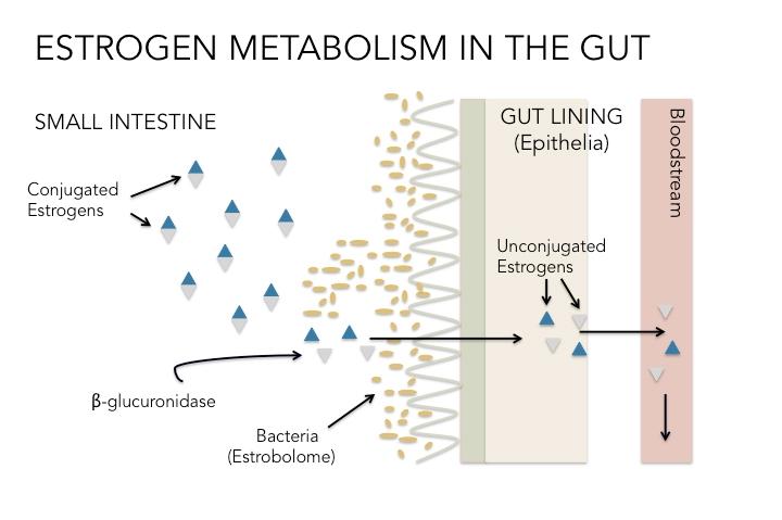 Diagram of estrogen metabolism in the gut