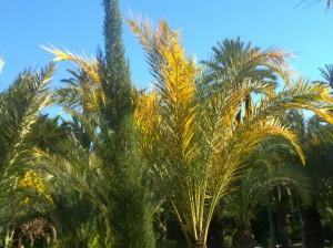 Distinos colores de las hojas y ramas de palmera