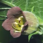 Bayas de atropa belladonna