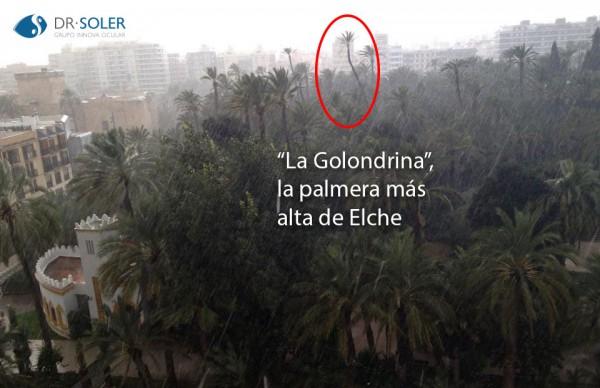La Golondrina, la palmera más alta de Elche