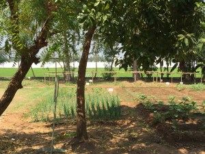 Just a small portion of the hospital's garden, with part of the rice paddy in the background
