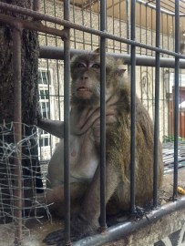 Possibly the fattest monkey I have ever seen