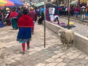 A rather obedient sheep