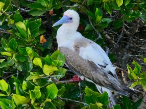 An older red-footed boobie