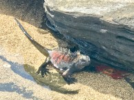 A marine iguana cooling down