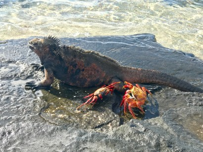 Maybe the crabs will evolve to eat the iguanas one day...