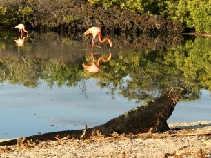 The iguanas don't bother the flamingoes at all