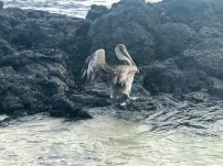 A pelican on the rocks